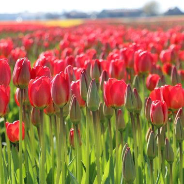 digital tour Tulips in Holland