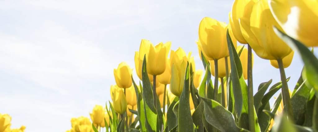 How does the tulip grow
