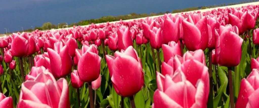 Milkshake tulip different colors Tulip Tours Holland