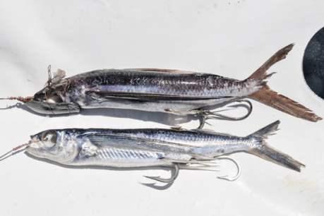 Canlı Balığı Bağlama