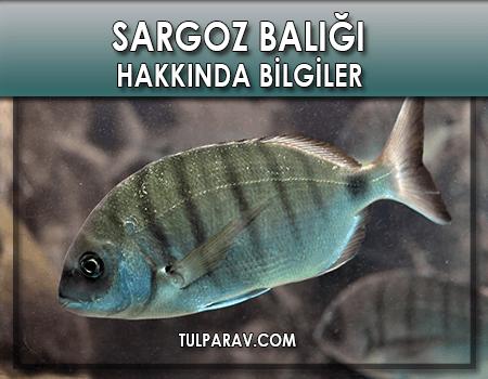 Sargoz Balığı Hakkında Bilgiler