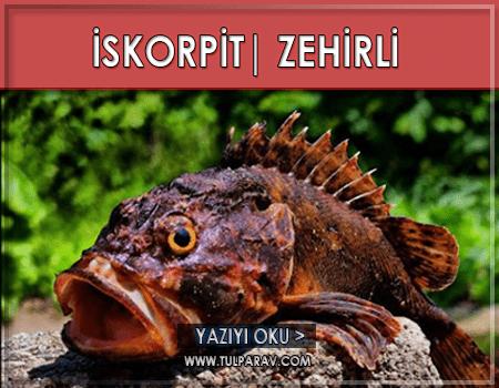 İskorpit Balığı