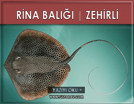 Rina Zehirli Balık