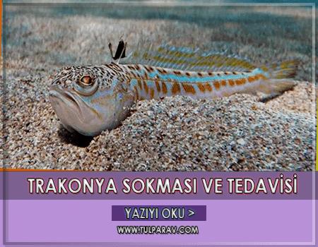 Trakonya Balığı Sokması ve Tedavisi