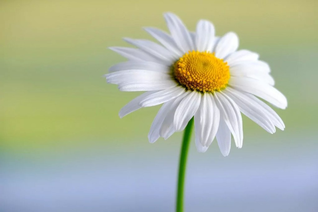 marguerite, white, flower