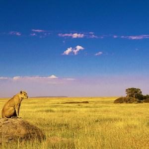 Lioness looking for po Semetu Kopjes, Serengeti National Park, Tanzania.