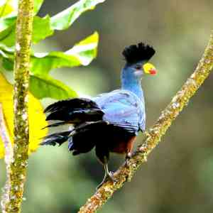 great-blue-turaco