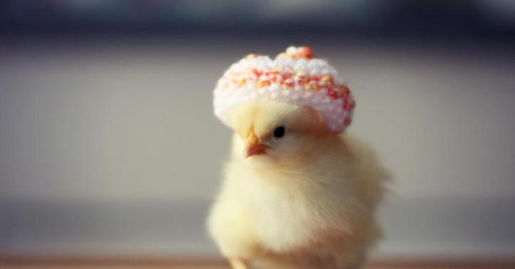 Chicken with a hat. Teaching humor