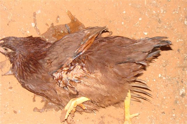 Chisamba Man Arrested after Having Sex With a Chicken