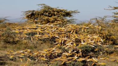 Photo of منظمات عالمية تحذر من كارثة ومجاعة في افريقيا تزامنا مع اجتياح الجراد وكورونا وانتشار الطاعون