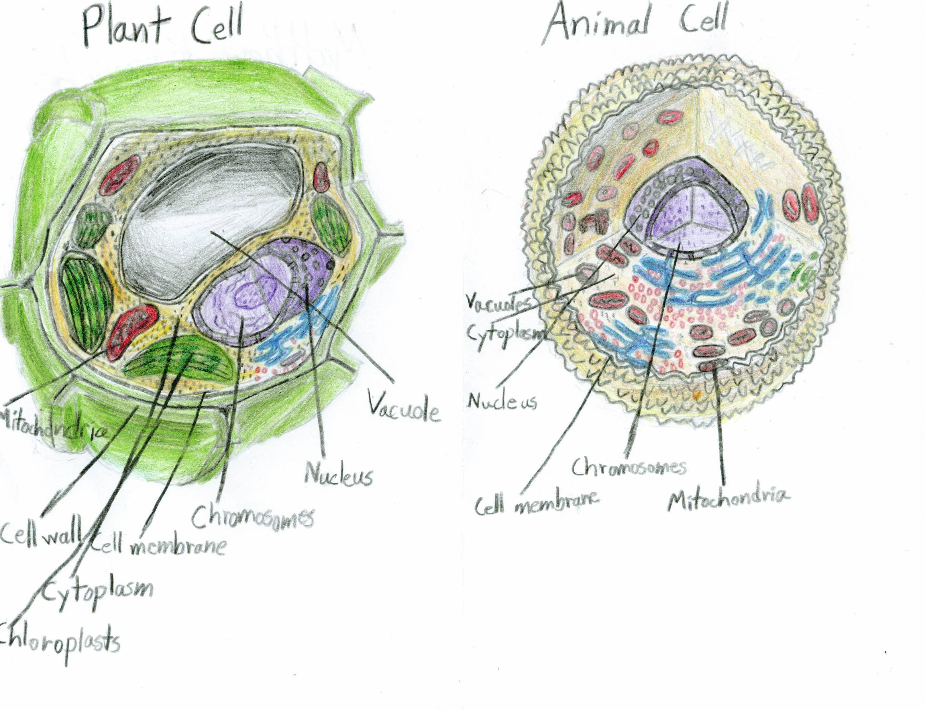 animal cell diagram and labels suzuki cultus car electrical wiring 1000 43 images about med term on pinterest the skin