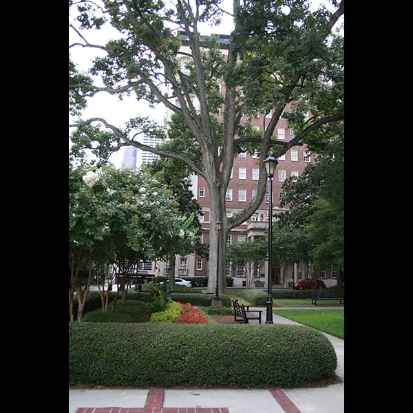 Preserved tree, path, and planting at the Biltmore Hotel and Apartments in Atlanta, Georgia, landscape by Tunnell and Tunnell Landscape Architecture.