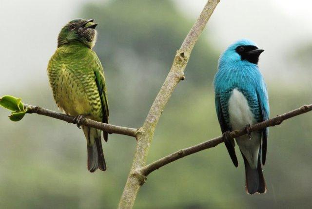 Azulejo golondrina, macho y hembra. Foto Edglorys Marys