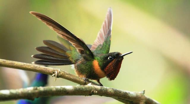 Orange-throated Sunangel, (Heliangelus mavors). La Azulita, Merida. Foto Edglorys Marys