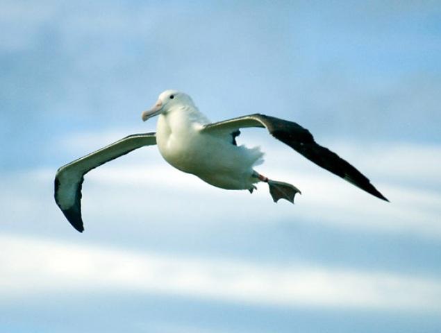Vuelo aerodinámico de los albatros