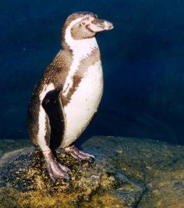 El simpático pinguino, foto F.Grandin/MNHN
