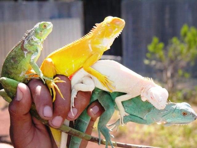 Una práctica abusiva la venta de iguanas, no solo en Brasil.