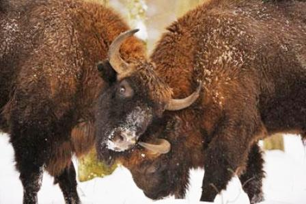 bisonte-europeo-en-el-parque-nacional-de-bialowieza-polonia-20969