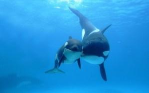 Mamá orca y su cría