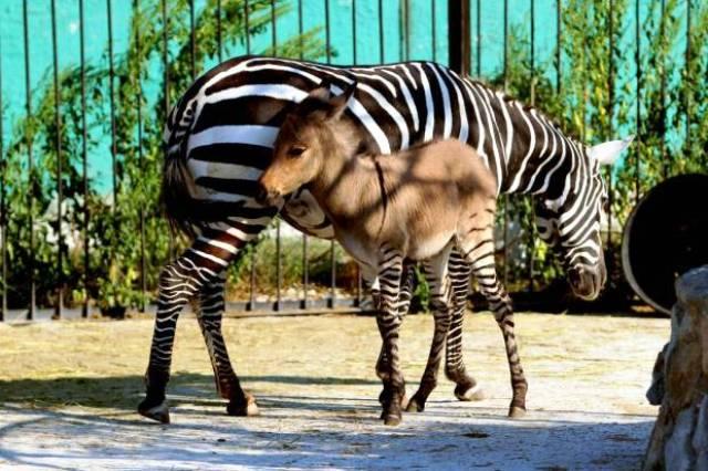 Cebra con su cría espera su comida en Zoo de Moscu