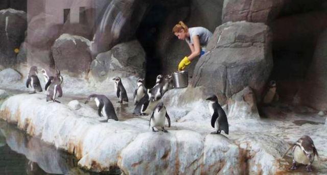 Los pinguinos del Zoo Moscú de exquisita alimentación