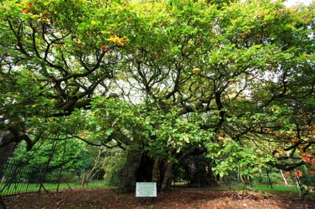 Allerton oak in Calderstones Park, Liverpool Foto: Anita Smith/Woodlandt