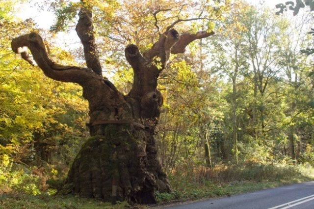 Big Bellied Oak- Wiltshire Foto Isobel Cameron-Forestry
