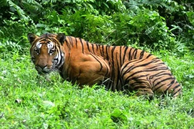 10.000 cámaras ocultas por la Autoridad Nacional de Conservación del Tigre que lograron fotografiar e identificar alrededor del 80% de los animales