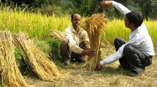Agricultores-Indios-logran-cosechas-records-sin-usar-transgenicos