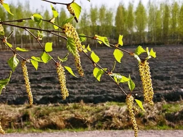 Abedul Foto Jouko Lehmuskallio NatureGate