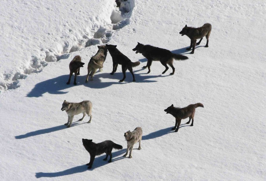 lobos_de_yellowstone