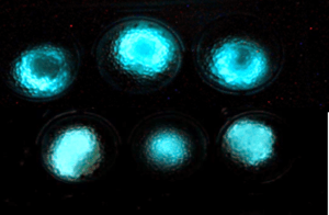 Bacterias antiminas