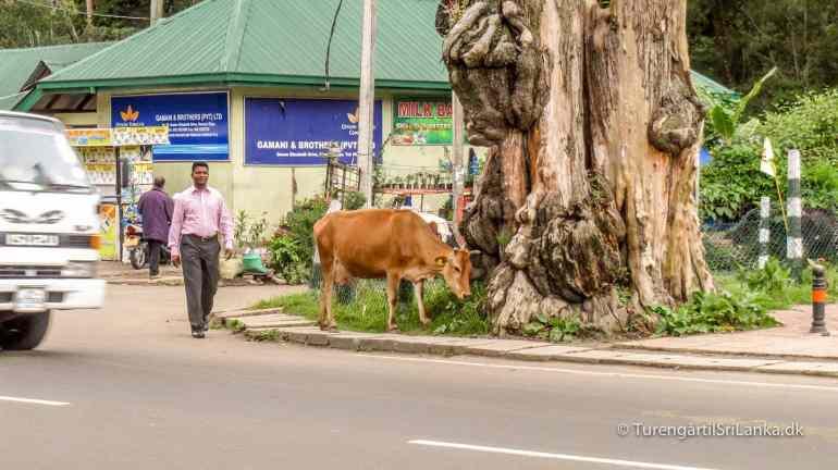 En ko går frit rundt i Nuwara Eliya by