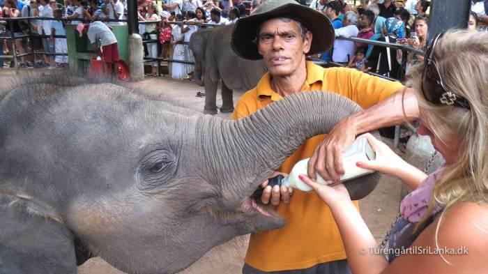 Pinnawala Elephant Orphanage - Elefantbørnehjemmet i Pinnewala