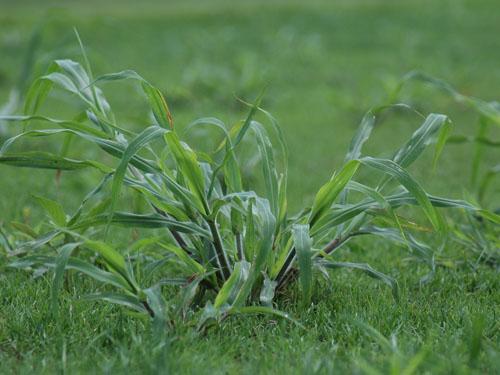 Common Warm Season Lawn Weeds TurfGator