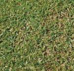 Semilla Agrostis Stolonífera