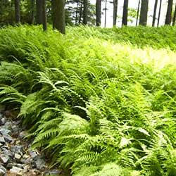 image of hay scented fern native sod for natural landscaping