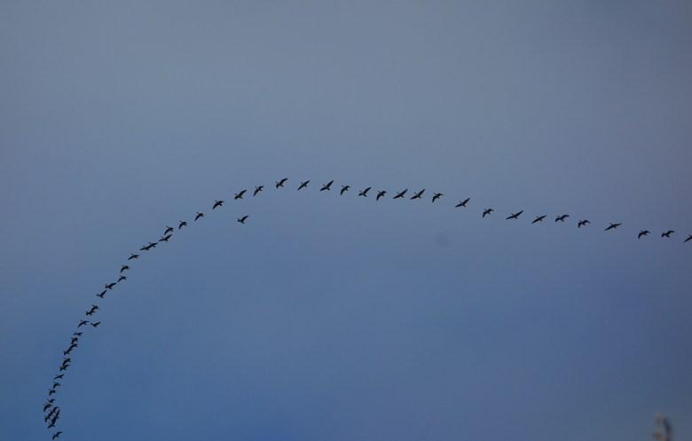 Gjessene er på tur sørover. Snart kommer vinteren
