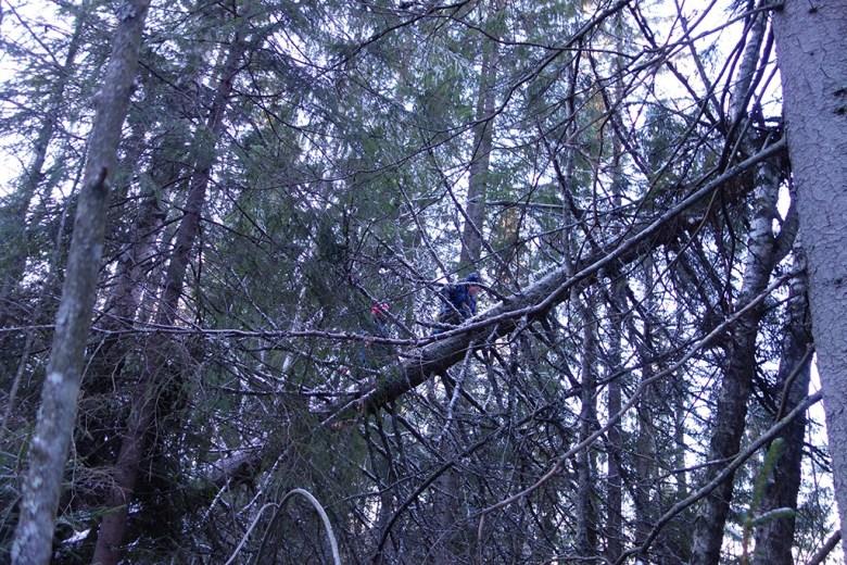 Turgutta klatrer høyt i et tre som har falt overende