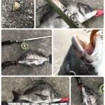 【目印落とし込み】地波止朝練後神戸渡船 de 5防へ。秋のグッドサイズおチヌ様の釣れる場所の条件は?