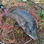 2月のヘチ釣り朝練で矢引きでおチヌ様ゲット!この時期でもヘチ釣りで釣れるし棚で釣れる!!!