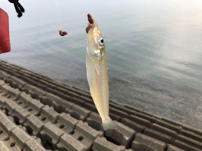 松阪港キス釣り