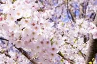 秋田県サクラマス2015解禁2ヶ月前倒し!米代川他河川!