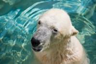 円山動物園のホッキョクグマの赤ちゃんがかわいすぎる!