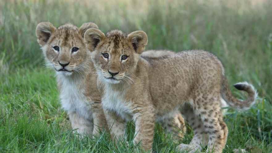 Givskud Zoo - Zootopia har netop rundet sæson 2020 af, og parken er nu lukket resten af året. (PR-foto)