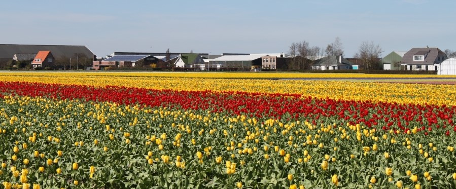 Vamos correr pelos campos de tulipas?