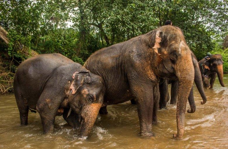 Elefantes de Chiang Mai