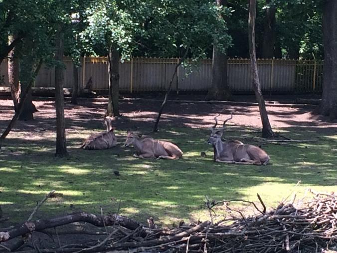 Nyiregyhaza Zoo - antilope