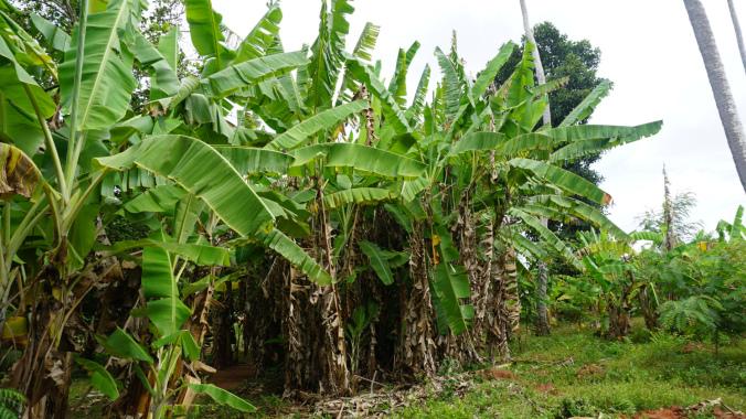 Paje - banana trees