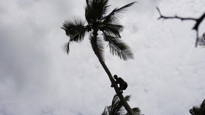Paje - coconut tree